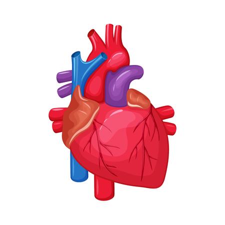 Anatomía del corazón humano. ilustración vectorial Corazón la ciencia médica. órgano interno humano: aurícula y el ventrículo, la aorta, tronco pulmonar, la válvula y la vena. corazón humano anatomía educación ilustración