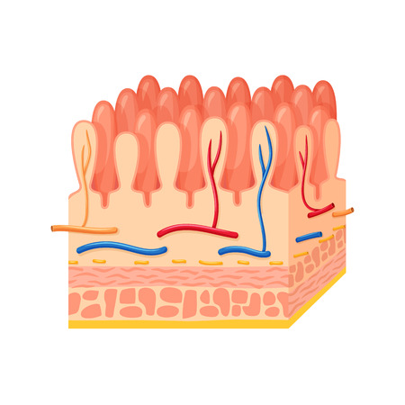 Intestinal wall anatomy. Intestinal wall medical science vector illustration. Internal human organ: mucosa, muscularis externa, serosa and villi. Human intestinal wall anatomy education illustration