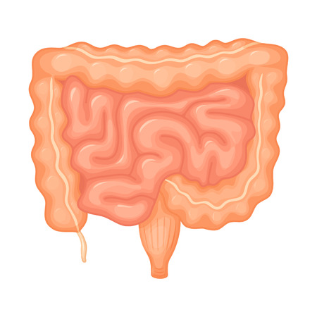 duodenum: Human intestines anatomy. Intestines medical science vector illustration. Internal human organ: small intestine, colon, duodenum and ileum, appendix and anus. Intestine anatomy education illustration Illustration