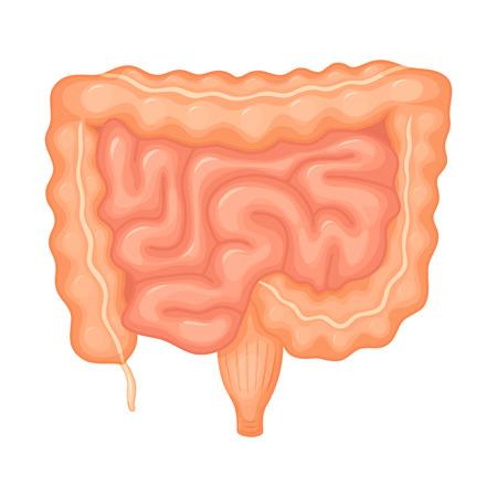 Human intestines anatomy. Intestines medical science vector illustration. Internal human organ: small intestine, colon, duodenum and ileum, appendix and anus. Intestine anatomy education illustration Illustration