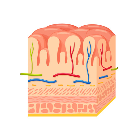 Stomach wall anatomy.Stomach wall medical science vector illustration. Internal human organ: mucosa and submucosa, muscularis externa, serosa. Human stomach wall anatomy education illustration Illustration
