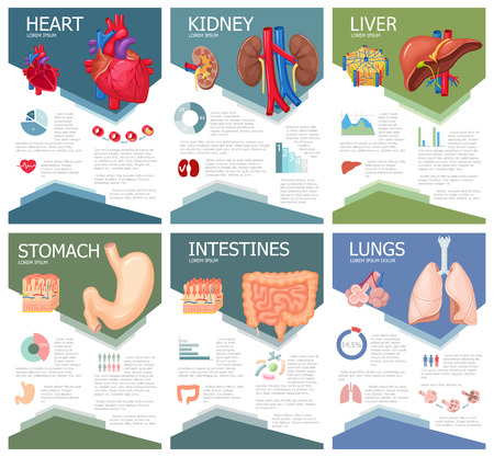 Human organ anatomy infographic poster with chart, diagram and icon. Kidney, lung, liver, heart, stomach, intestine anatomy medical science infographic, chart, diagram. Anatomy infographic brochure Stock Illustratie