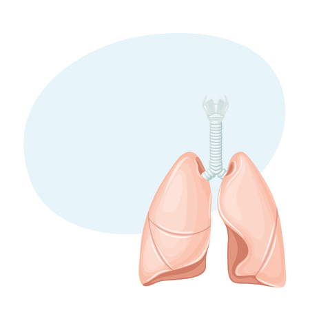 thymus: Human lungs anatomy