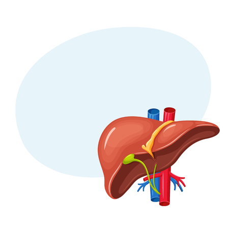 common bile duct: Human liver anatomy Illustration