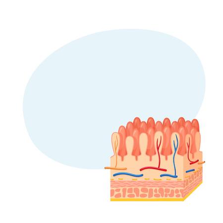 esofago: Anatomía de la pared intestinal Vectores