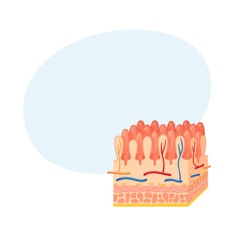 Intestinal wall anatomy Illustration