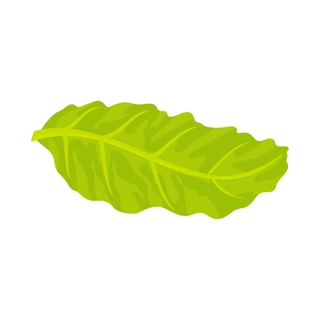 leaf lettuce: Floating lettuce leaf Illustration
