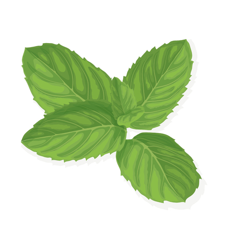 Mint leaf illustration