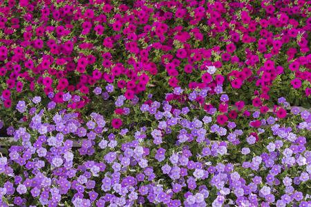 lila: Geraniums flowers carpet background scarlet & lila - storksbills - Pelargonium