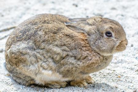northwest africa: European rabbit common rabbit