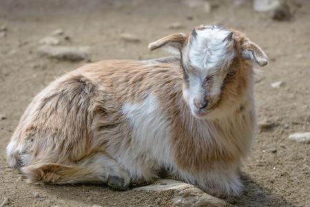 hircus: Domestic goat Capra aegagrus hircus young goats