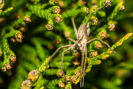 thuja occidentalis: Spider Zoropsis spinimana family Zoropsidae. It is distributed widely in the Mediterranean Russia Europe United States. Does not build a web but hunts freely. Stock Photo