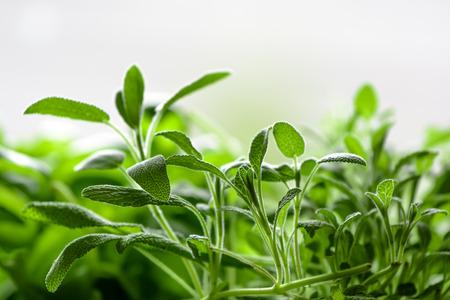 officinalis: Salvia officinalis sage garden sage