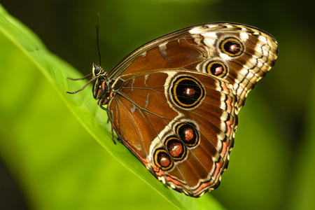 authorities: The Peleides Blue Morpho Common Morpho or The Emperor Morpho peleides is an iridescent tropical butterfly found in Mexico Central America northern South America Paraguay and Trinidad. Some authorities believe that peleides is a subspecies of Morpho heleno