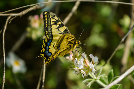 machaon: The Old World swallowtail Papilio machaon is a butterfly of the family Papilionidae. The butterfly is also known as the common yellow swallowtail or simply the swallowtail. Croatia, Istria, Kamenjak Stock Photo