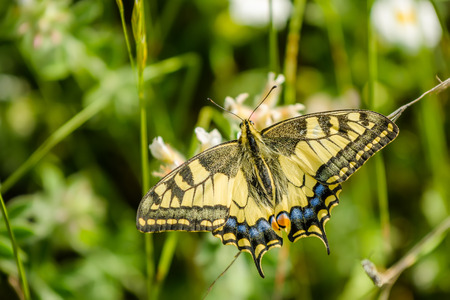 papilio: The Old World swallowtail Papilio machaon is a butterfly of the family Papilionidae. The butterfly is also known as the common yellow swallowtail or simply the swallowtail. Croatia, Istria, Kamenjak Stock Photo