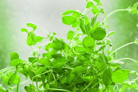 origanum: Marjoram - Origanum majorana, Marjoram - syn. Majorana hortensis Moench, Majorana majorana is a somewhat cold-sensitive perennial herb or undershrub with sweet pine and citrus flavors. In some Middle Eastern countries, marjoram is synonymous with oregano, Stock Photo