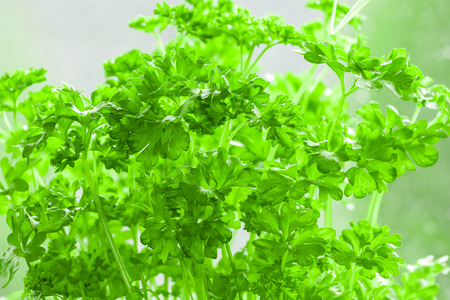 naturalized: Garden Parsley - Petroselinum crispum, Parsley or garden parsley Petroselinum crispum is a species of Petroselinum in the family Apiaceae, native to the central Mediterranean region southern Italy, Algeria, and Tunisia, naturalized elsewhere in Europe, an
