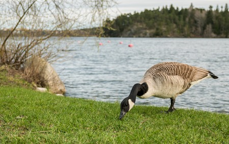 Wild goose or geese eating grass by the side of a lake with beautiful pine forest island in the background