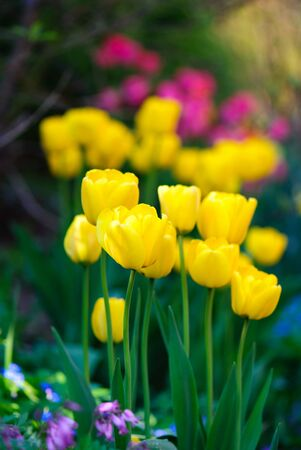 Vertical picture of yellow tulips in the foreground photo