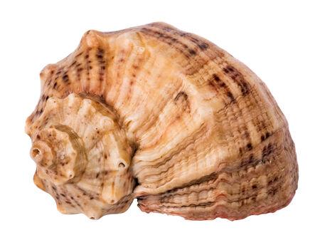 beautiful marine seashell isolated on white background Stock Photo - 24115320