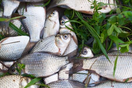 Pile of river carp on the green grass Stock Photo - 17251792