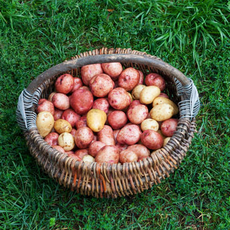 Raw unpeeled potatoes in the basket, standing on the green grass Stock Photo - 17631565