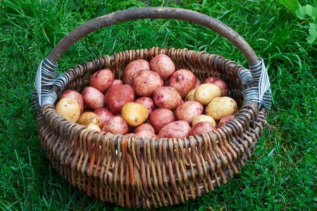 Raw unpeeled potatoes in the basket, standing on the green grass Stock Photo - 17631569