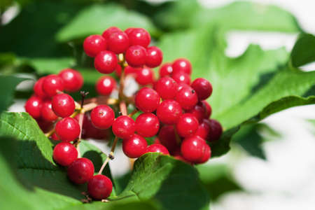 guelder: Bunch of red viburnum in the green foliage