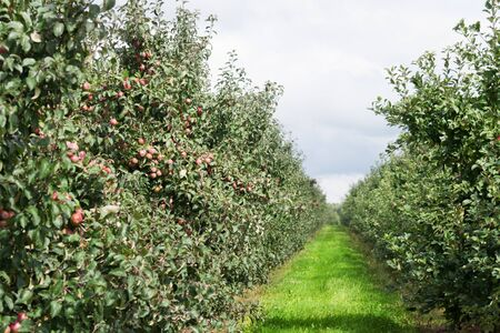 Rows of trees in an apple orchard photo