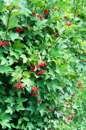 guelder rose: Grapes of viburnum in the green foliage