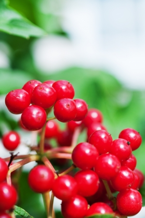 Red viburnum berries close up