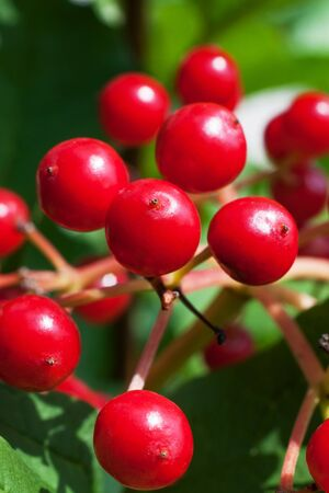 guelder: Red viburnum berries close up