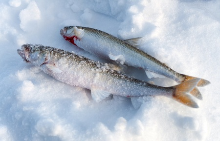 Ice fishing  Two Fish Smelt lying in the snow  Stock Photo - 19311473