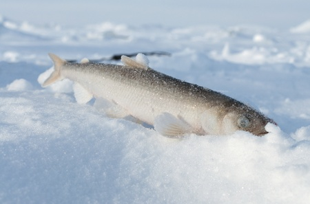 silver perch: Ice fishing  Smelt fish lying in the snow