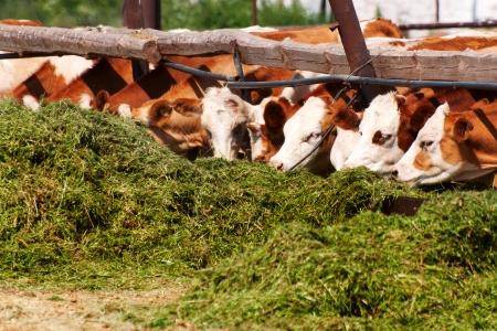Las vacas comen alimentadores ensilaje antes del ordeño de la tarde Foto de archivo - 23217486