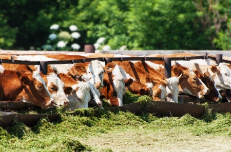 The cows eat silage feeders before the evening milking 版權商用圖片