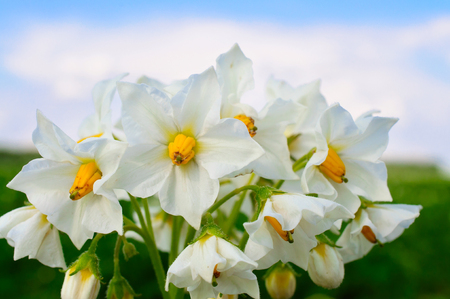 White potato flower closeup  photo