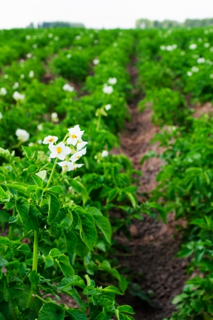 Flowering potatoes on the field