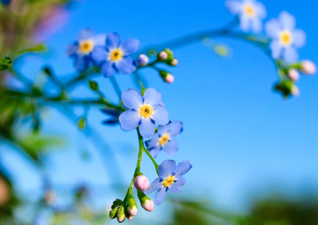 Flowering forget-me against the blue sky  photo