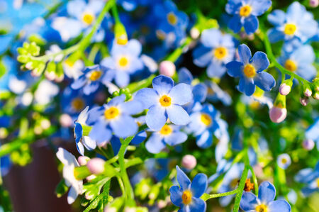 beautiful fresh blue forget-me-not flower close view photo
