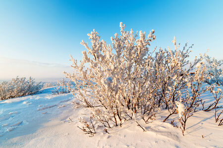 Snow-covered bushes on the rocky plateau  Illuminated by the setting sun  photo