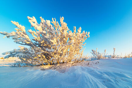 Snow-covered bushes on the rocky plateau  Illuminated by the setting sun  Stock Photo