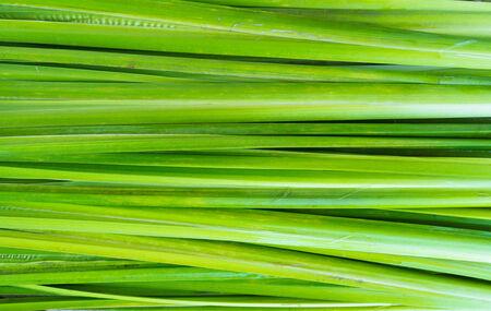 calamus: Backgrounf leaf and foliage Acorus calamus