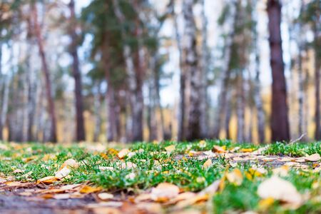 carpet grass: Autumn forest, yellow carpet of fallen leaves and green grass. Shooting close to the ground.