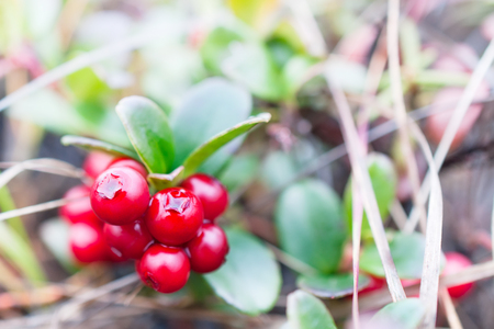 tundra: Small shrub with berries ripe cranberries. Polar tundra, deep autumn. Stock Photo