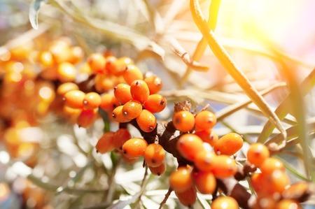 Wegedoornbessen op de tak van duindoornboom. Foto close-up. Ondiepe scherptediepte. Stockfoto - 64995914