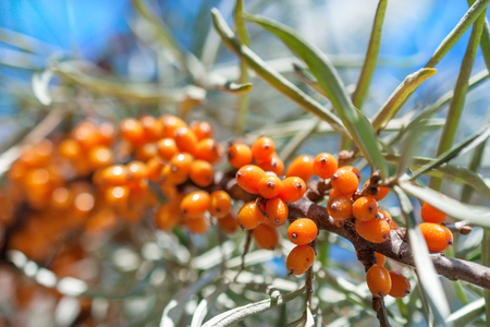 seabuckthorn: Lots of sea-buckthorn berries on the branch of sea-buckthorn tree. Photo closeup. Shallow depth of field.