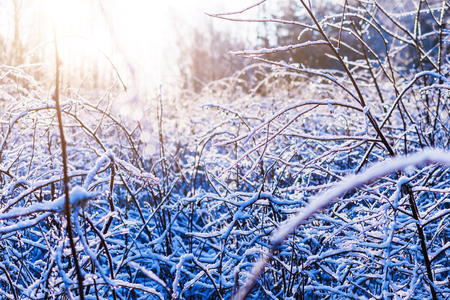 thin ice: Covered with ice and snow thin branches of the bush. Winter forest, sunny day.