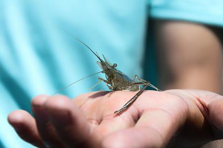 Freshwater shrimp Macrobrachium